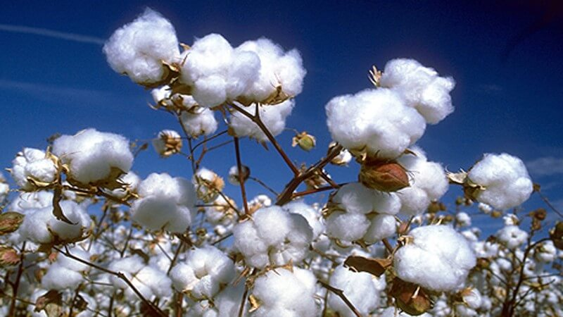 Cotton plant - importance of plants in our life