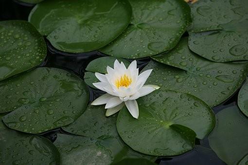 Lotus Effect : Why are lotus leaves waterproof?