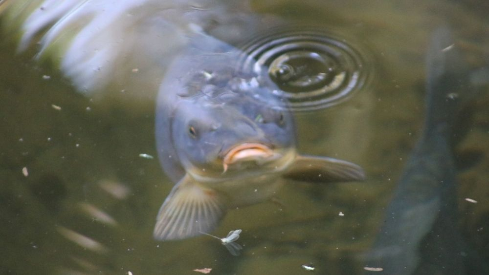 How can fishes breathe under water